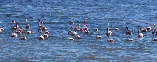 Flamingos near Sete